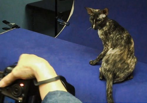 Photographing a black tortie-and-white Oriental SH