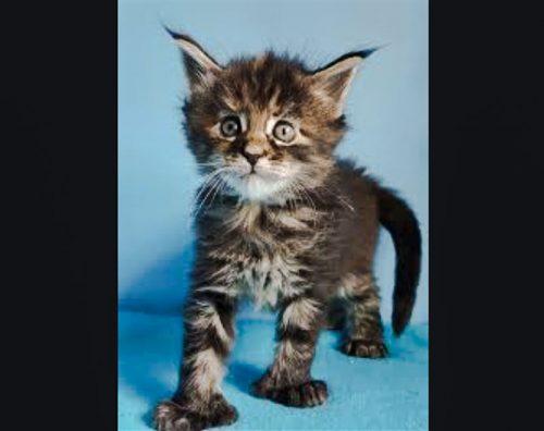 Polydactyl Maine Coon kitten