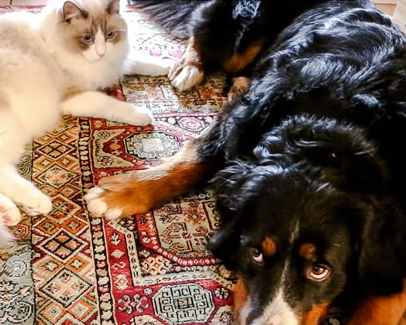 Ragdoll meets large dog for the first time and gets along because they are socialised to the other species of animal