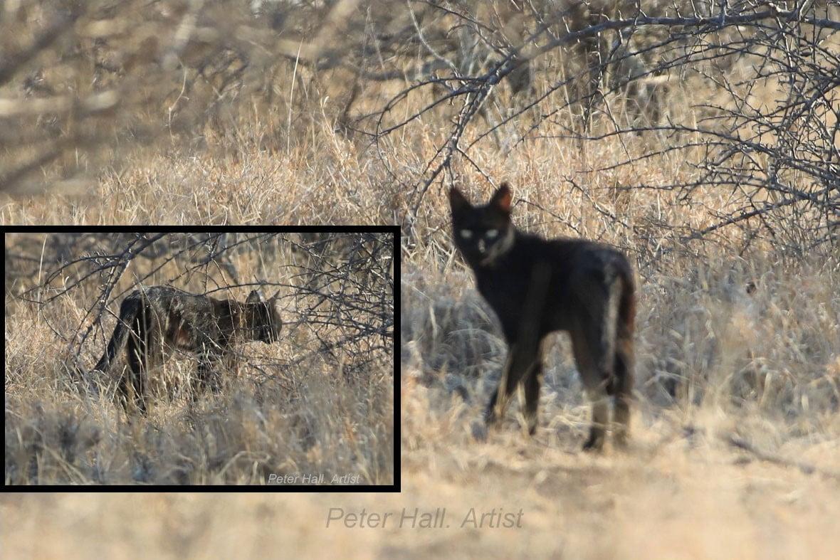 Small black cat in Kruger National Park