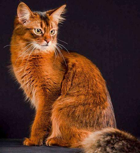 Somali cat breed