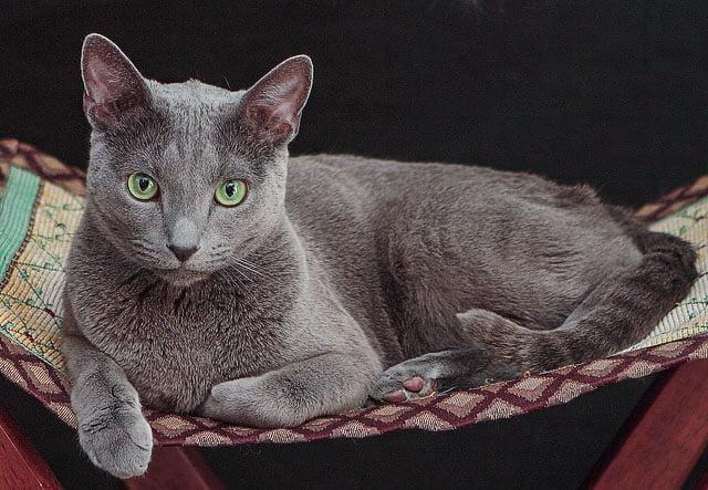 Super Russian Blue cat