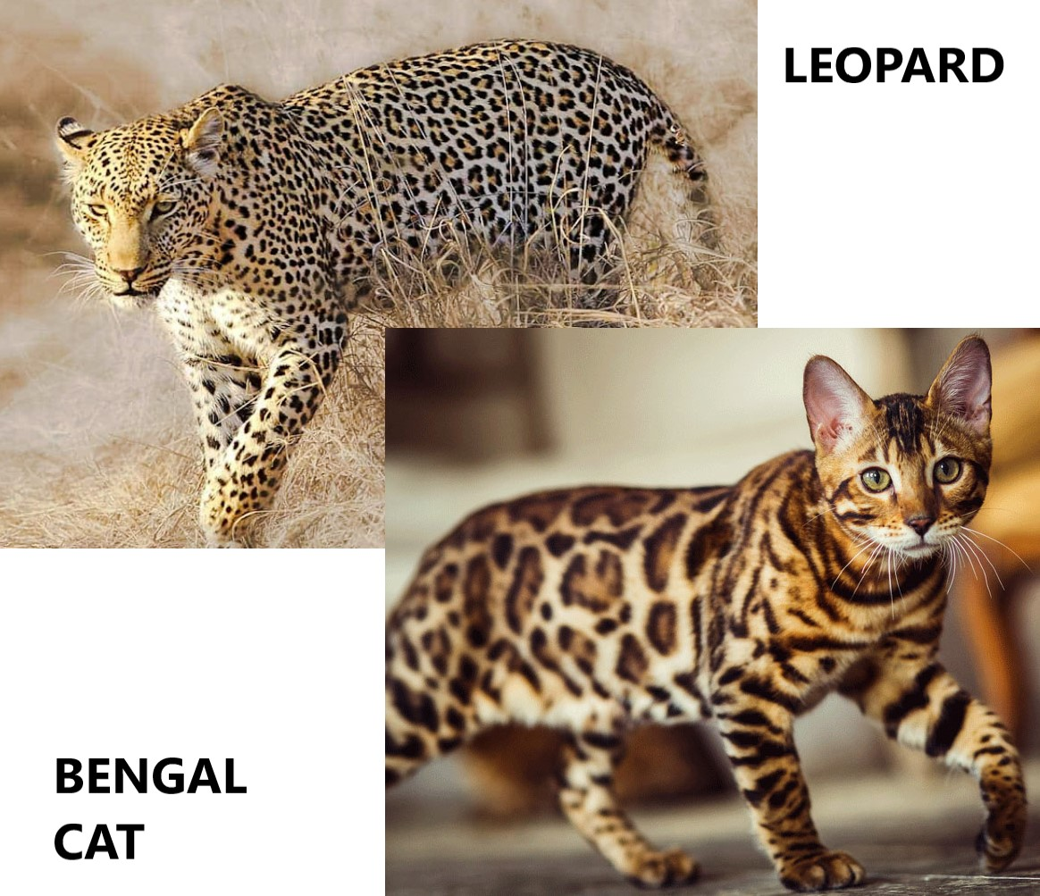 What kind of domestic cat has leopard spots?