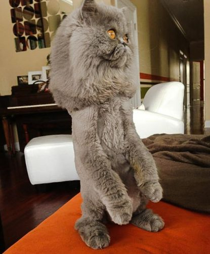 Persian cat with lion cut on hind legs
