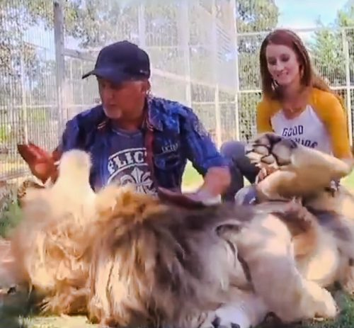 Captive lion is wound up by man playing with him and attacks
