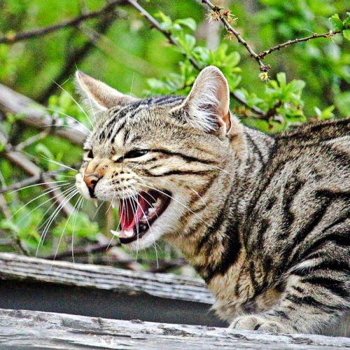 Cat hiss