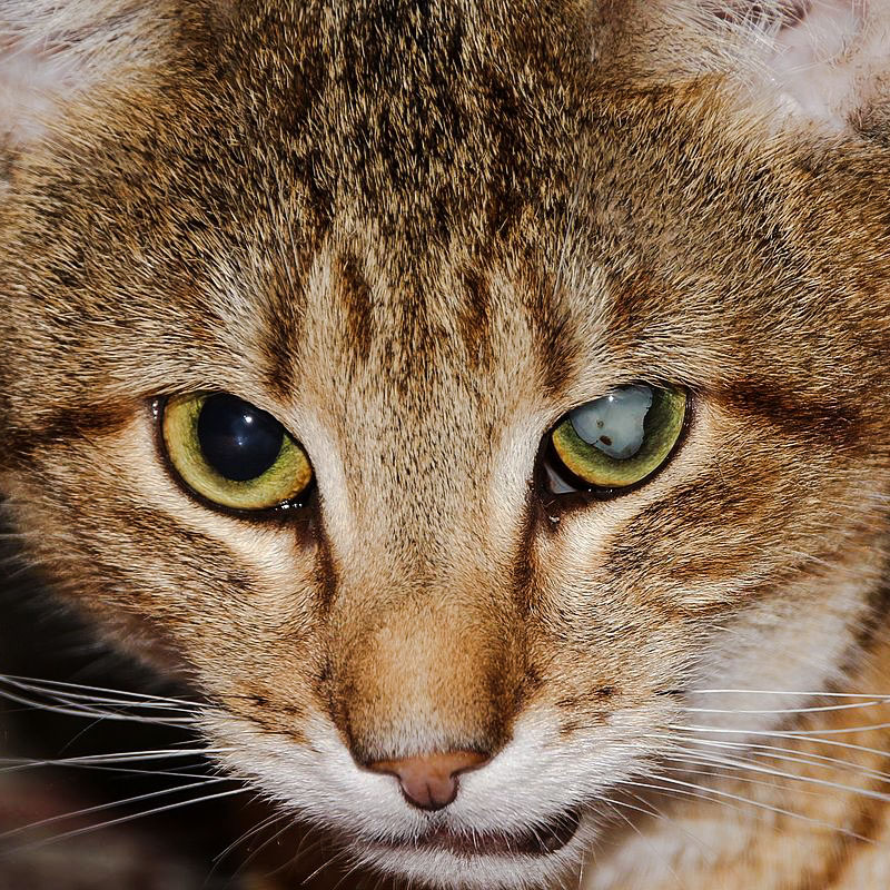 Cat with cataracts in left eye - very visible