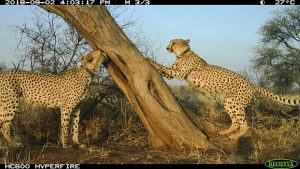 Cheetah hangout - cheetah hub