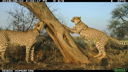 Cheetah hangout - cheetah hub