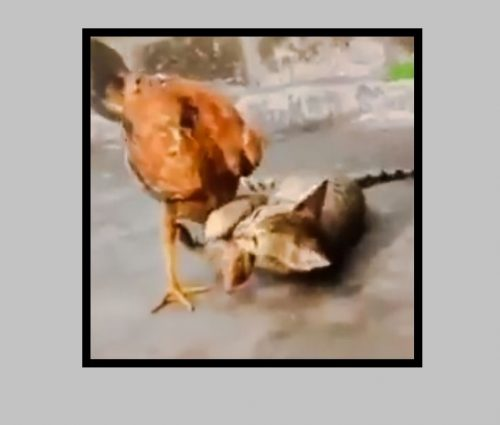 Domestic cat play-fightswith rooster