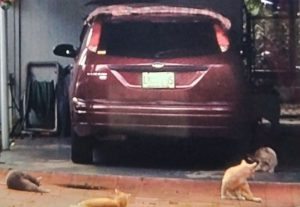 Four comunity cats surround Mr Santana's car