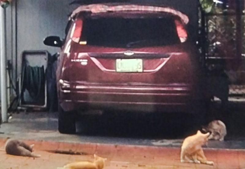 Four comunity cats surround Mr Santana's car