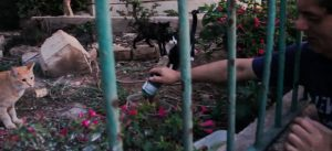 Richard Vella feeds the feral cats of Malta with wet and dry cat food.