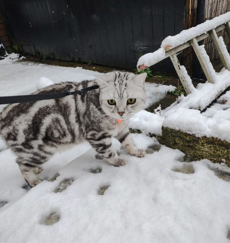 Tabby British Shorthair on leash in snow