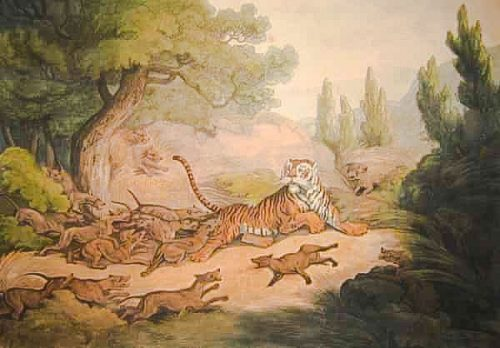Tiger attacked by wild dogs