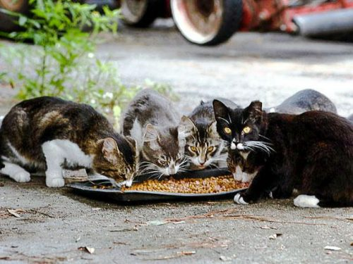 Feral cats feeding on dry cat food