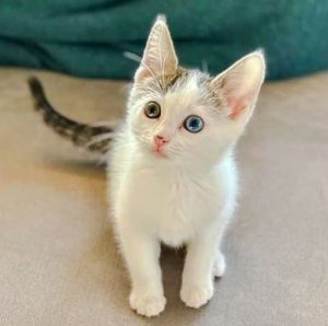 kitten rescued from the walls of a Las Vegas home - Houdini