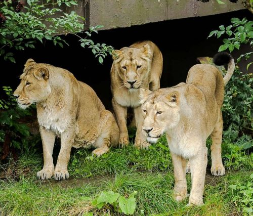 Three lionesses Rubi Heidi and Indi