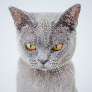 Angry grey cat?