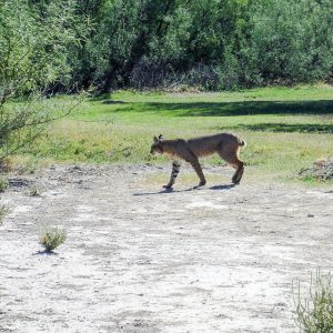 Bobcat at Big Bend Texas