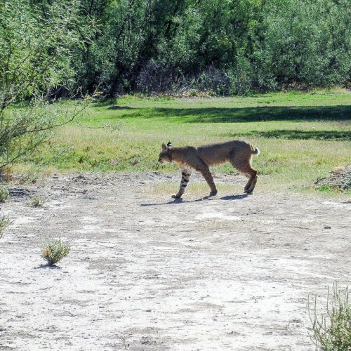 Bobcat at Big Bend Texas