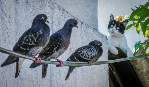 Cat observers three pigeons an apt picture for National Bird Day