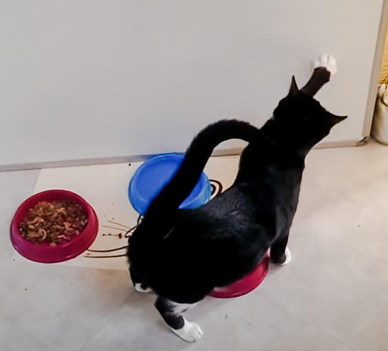 Cat tries to bury their food
