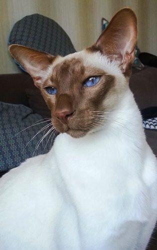 Chocolate point modern Siamese with unusual markings and a snow white coat
