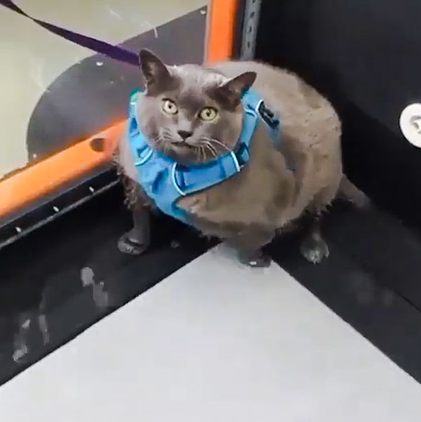 Chonky gray cat with lead on treadmill to try and lose weight