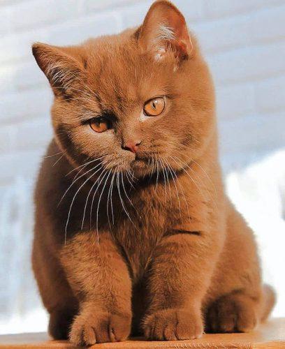 Cinnamon British shorthair