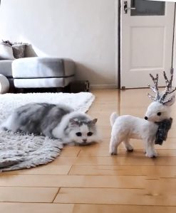 This is what it feels like to live with a long-haired dwarf cat