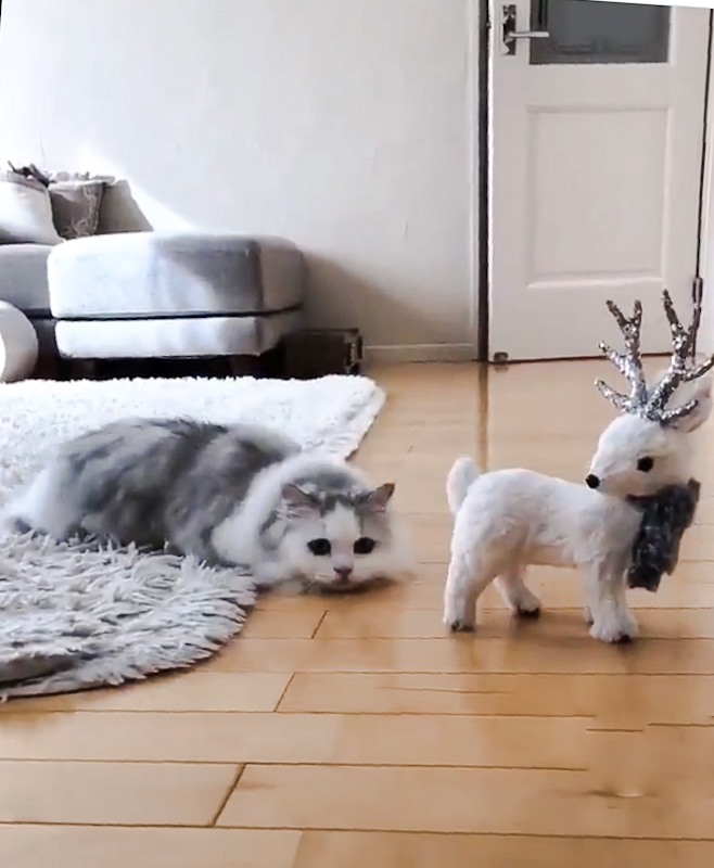 Cute dwarf cat – PoC