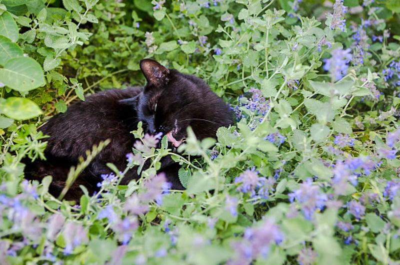 Domestic cat luxuriating in catnip