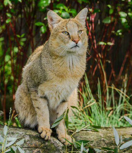 Jungle Cat (Felis Chaus)