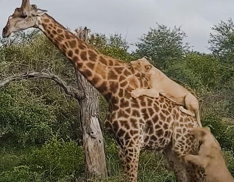 Lionesses attacking a giraffe