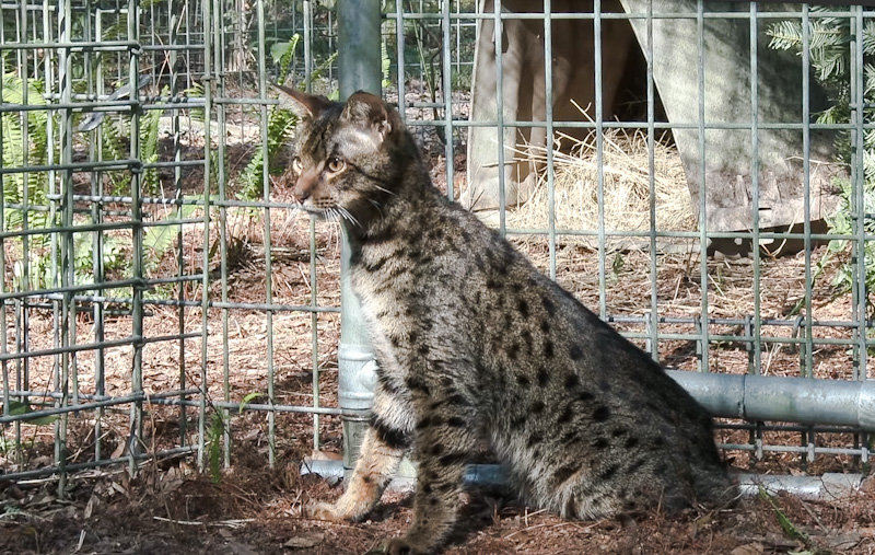 Loki an abandoned high filial Savannah cat