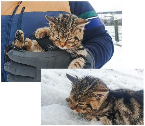 Man rescues Scottish wildcat kitten from death due to hypothermia