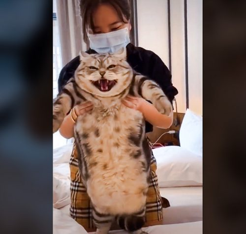 Picture and video of TikTok chonky tabby cat