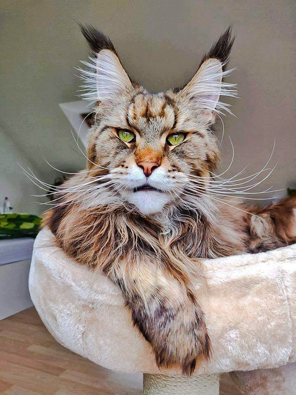 Picture of a Maine Coon who looks like a middle-aged man