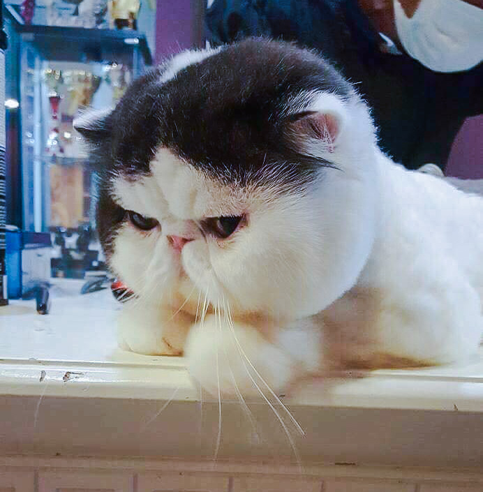 Picture of a chubby-cheeked bicolor Exotic Shorthair cat