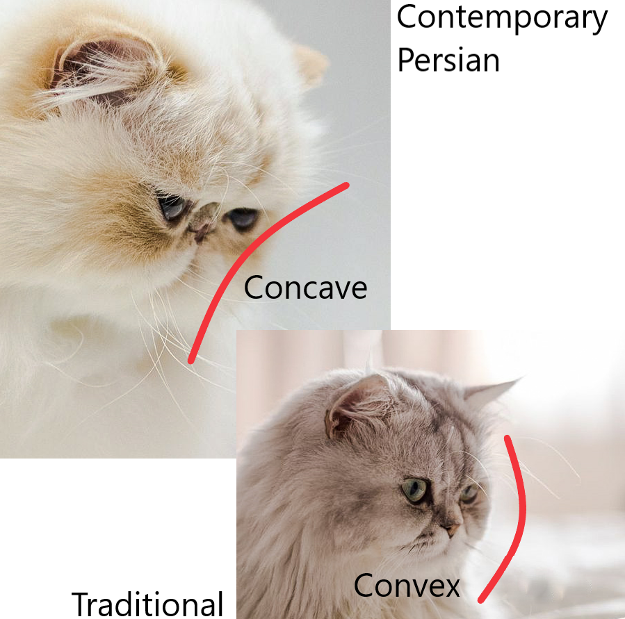 Picture of a concave-faced Persian cat