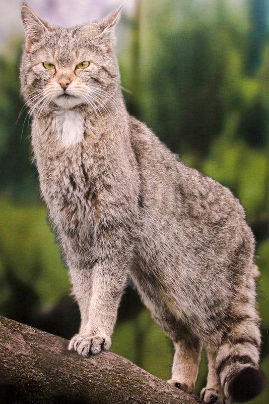 Photo of a wildcat by Melanie Kahl for the Wildkatzensymposium in der Fachhochschule, Erfurt