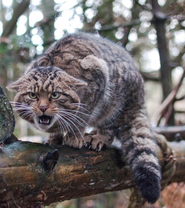 Picture of how a Scottish wildcat should look when photographed
