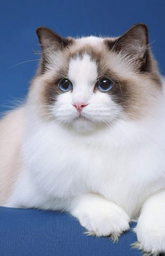 Picture of the perfect Ragdoll cat