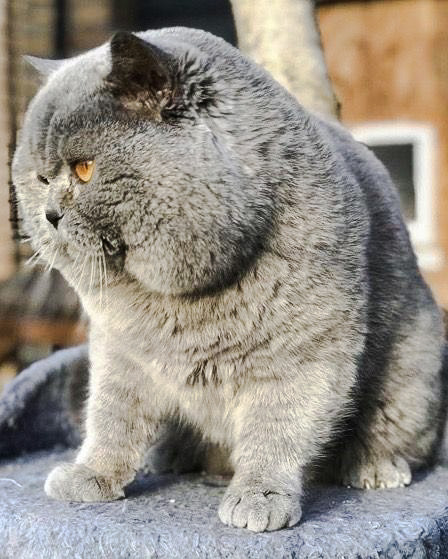 Russian? blue British Shorthair bred to extreme