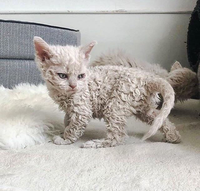 Selkirk Rex kitten - aka Poodle cat