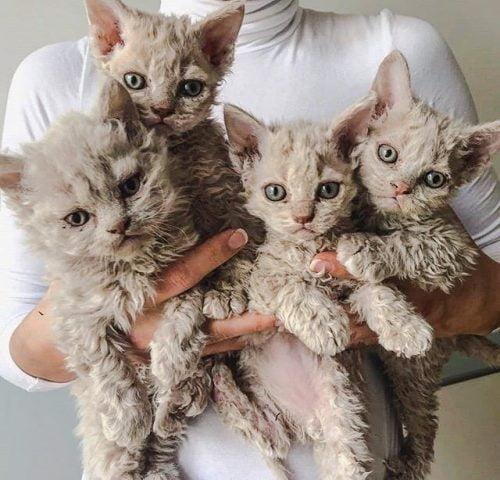 Selkirk Rex kittens - Poodle cat kittens