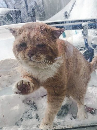 Stray ginger tabby survives Quebec winter and comes in from the cold