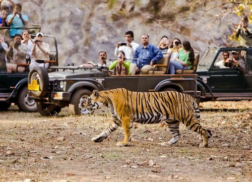 Tiger in a reserve in India