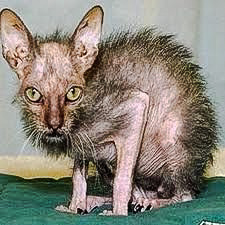 Picture of probably the world's ugliest cat